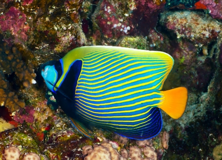 pomacanthus imperator: Emperor angelfish (Pomacanthus imperator) in the Red Sea, Egypt.