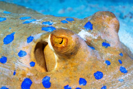 bluespotted: Bluespotted ribbontail ray (Taeniura lymma) close-up eyes, in the Red Sea, Egypt. Stock Photo
