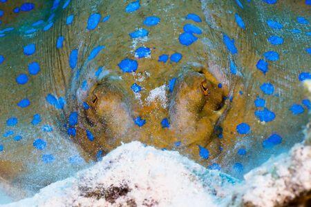 taeniura: Bluespotted ribbontail ray (Taeniura lymma) close-up viso, nel Mar Rosso, Egitto.