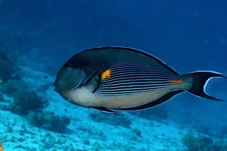 surgeonfish: Sohal surgeonfish  Acanthurus sohal  in the Red Sea, Egypt  Stock Photo