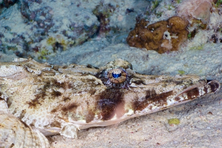 Tentacled flathead (Papilloculiceps longiceps) head close-up, Red Sea, Egypt. photo