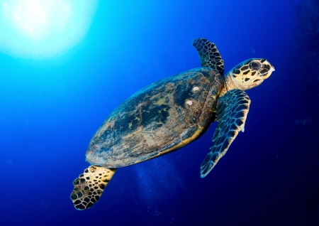 swimming animal: Hawksbill sea turtle  Eretmochelys imbricata  in deep blue, Red Sea, Egypt