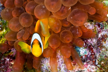 amphiprion bicinctus: Twoband anemonefish  Amphiprion bicinctus  on the background of  red anemone, Red Sea, Egypt