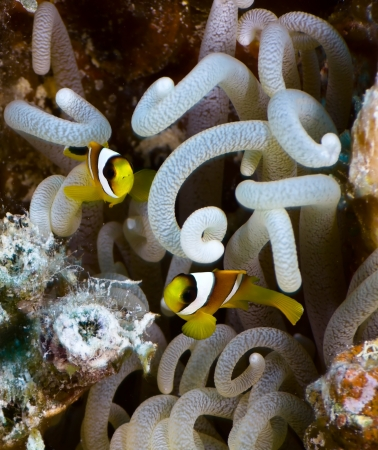 amphiprion bicinctus: Two young Twoband anemonefishes  Amphiprion bicinctus  on the background of anemone, Red Sea, Egypt  Stock Photo