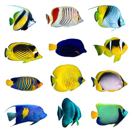 pez pecera: Colección de peces tropicales sobre fondo blanco.