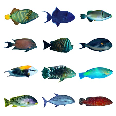 parrotfish: Tropical fish collection on white background. Stock Photo