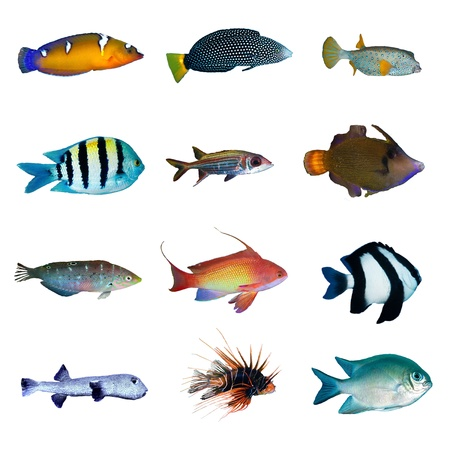 marine fish: Tropical fish collection on white background. Stock Photo