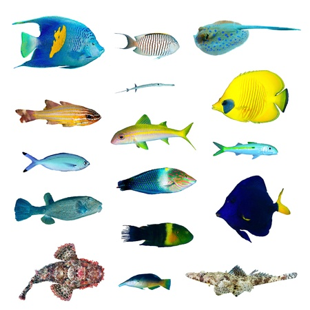 exotic fish: Tropical fish collection on white background. Stock Photo