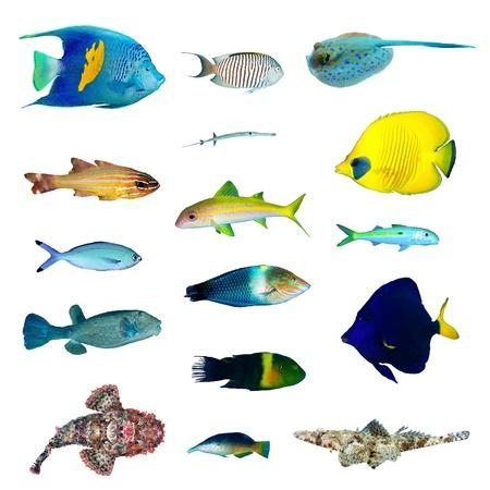 zebrasoma: Tropical fish collection on white background. Stock Photo