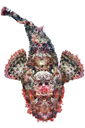 scorpionfish: Bearded scorpionfish (Scorpaenopsis barbata) top view, isolated on white background. Stock Photo