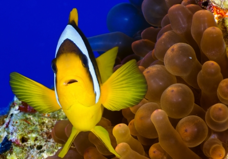 Twoband anemonefish (Amphiprion bicinctus) on the background of anemone, Red Sea, Egypt. photo