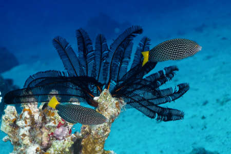 labridae: Spotted wrasse  Anampses meleagrides Valenciennes  on black cronoid in the Red Sea, Egypt  Stock Photo