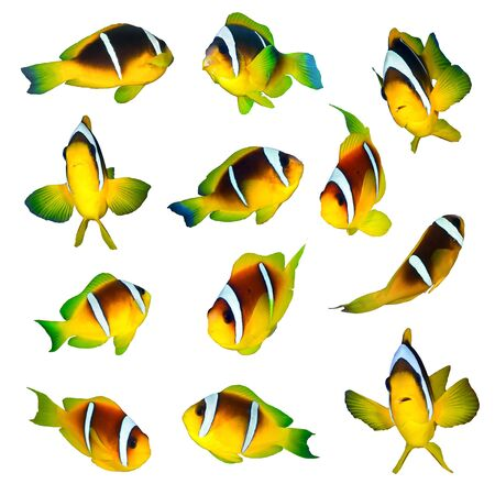 amphiprion bicinctus: Twoband anemonefishes collection on white background.
