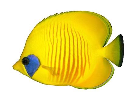 chaetodon: Masked Butteflyfish (Chaetodon semilarvatus) isolated on white background.