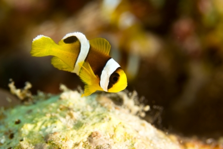 Young Twoband Anemonefish (Amphiprion bicinctus) in the Red Sea, Egypt. photo