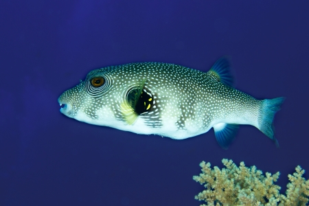 arothron: Whitespotted Puffer (Arothron hispidus) in the Red Sea, Egypt.