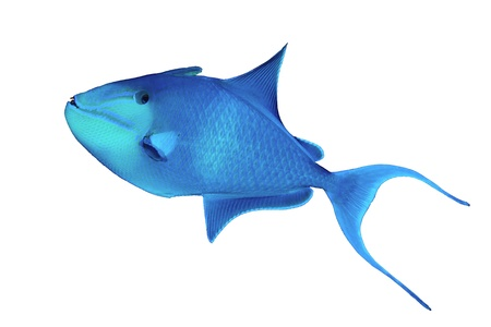 trigger fish: Redtoothed triggerfish (Odonus niger) isolated on white background. Stock Photo