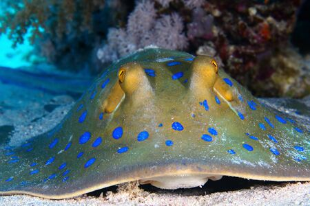 Bluespotted ribbontail ray (Taeniura lymma) clouse up view, in the Red Sea, Egypt. Stock Photo