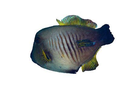 tropical fish isolated: Broom filefish  Amanses scopas  isolated on white background  Stock Photo