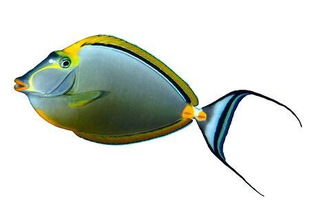 colorful fish: Orangespine unicornfish (Naso elegans) isolated on white background. Stock Photo