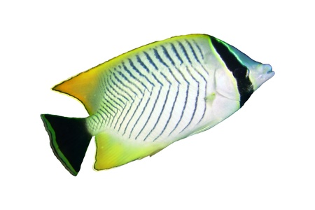 Chevron butterflyfish (Chaetodon trifascialis) isolated on white background. Stock Photo - 19384394