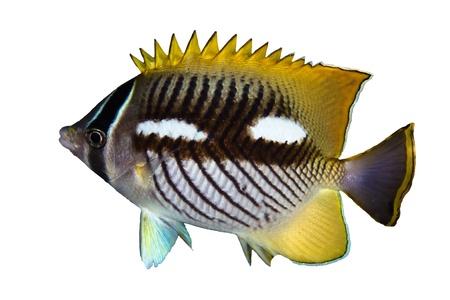chaetodontidae: Chevron butterflyfish (Chaetodon trifascialis) nightcolour,isolated on white background.