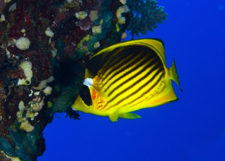 Diagonal-lined butterflyfish (Chaetodon fasciatus) in the Red Sea, Egypt. Stock Photo - 19385608