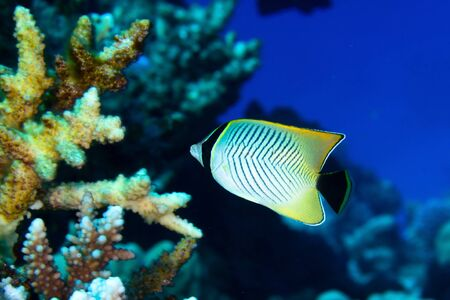 chaetodontidae: Chevron butterflyfish (Chaetodon trifascialis) in the Red Sea, Egypt.