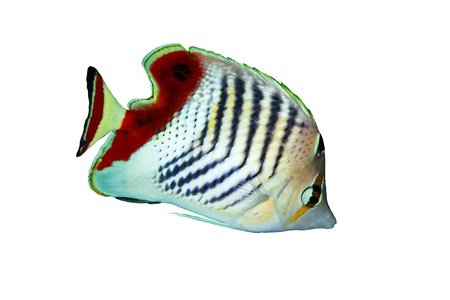 Eritrean butterflyfish  Chaetodon paucifasciatus  isolated on white background  Stock Photo - 19386605
