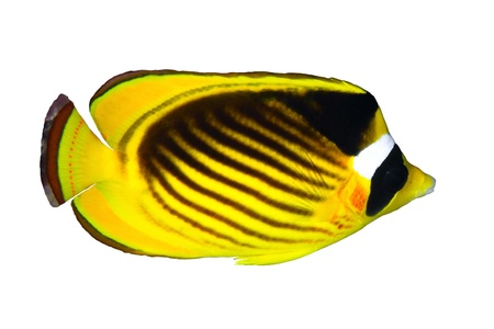 chaetodontidae: Diagonal-lined butterflyfish (Chaetodon fasciatus) isolated on white background.