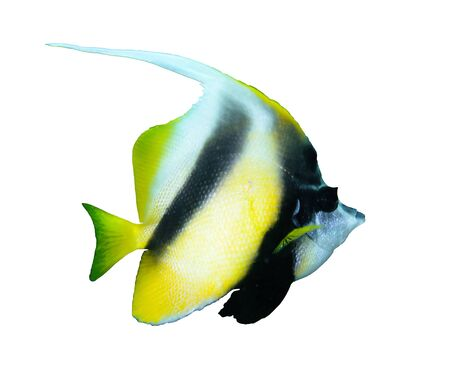 chaetodontidae: Red sea bannerfish (Heniochus intermedius) isolated on white background.