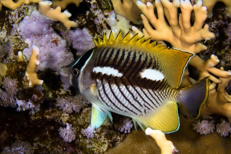 Chevron butterflyfish  Chaetodon trifascialis  at night, in the Red Sea, Egypt  Stock Photo - 19524605