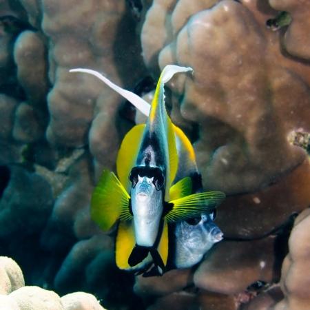 chaetodontidae: Red sea bannerfish (Heniochus intermedius) in the Red Sea, Egypt. Stock Photo