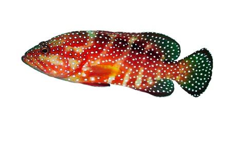 tropical fish isolated: Coral hind grouper (Cephalopholis miniata) isolated on white background. Stock Photo