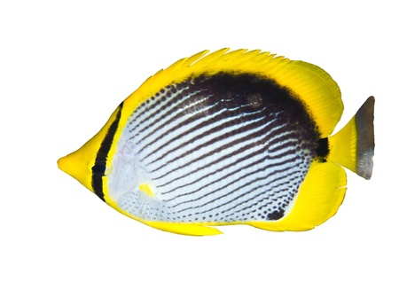 chaetodontidae: Black-backed butterflyfish (Chaetodon melannotus) isolated on white background. Stock Photo