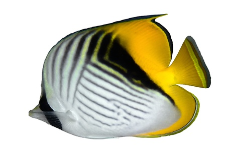 Threadfin butterflyfish (Chaetodon auriga) isolated on white background.
