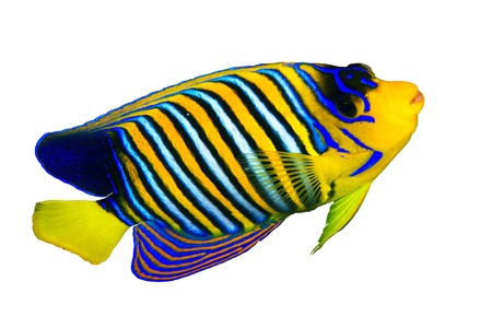Royal angelfish  Pygoplites diacanthus  isolated on white background  photo