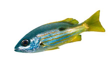 tropical fish isolated: Ehrenbergs snapper (Lutjanus ehrenbergi) isolated on white background.