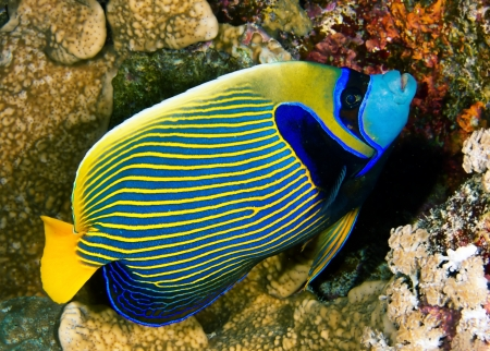 pomacanthus imperator: Emperor angelfish  Pomacanthus imperator  in the Red Sea, Egypt  Stock Photo