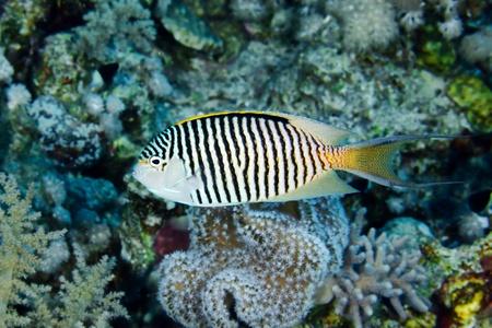 angelfish: Zebra angelfish  Genicanthus caudovittatus  in the Red Sea, Egypt  Stock Photo