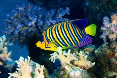 pygoplites diacanthus: Royal angelfish (Pygoplites diacanthus) in the Red Sea, Egypt.