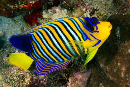Royal angelfish (Pygoplites diacanthus) in the Red Sea, Egypt. photo