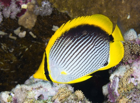 chaetodontidae: Black-backed butterflyfish  Chaetodon melannotus  in the Red Sea, Egypt  Stock Photo