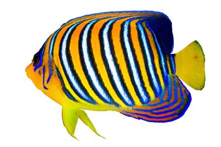 peces de acuario: Royal pez ?ngel Pygoplites diacanthus aislado en fondo blanco