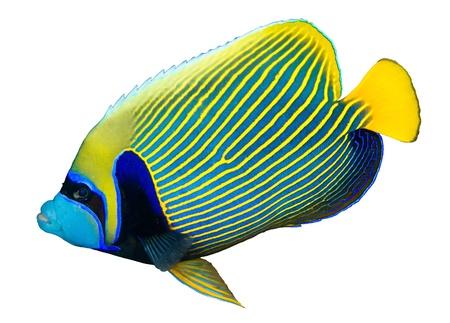 pomacanthus imperator: Imperatore angelfish Pomacanthus imperator isolato su sfondo bianco
