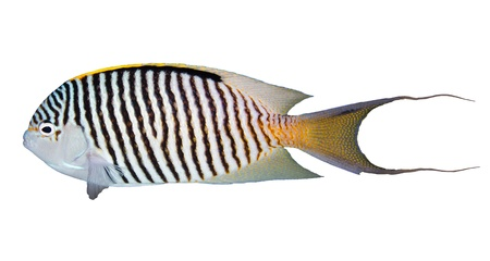 Zebra angelfish  Genicanthus caudovittatus  isolated on white background  photo