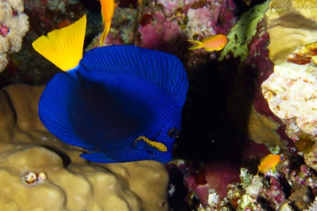 Yellowtail tang  Zebrasoma xanthurum  in the Red Sea, Egypt  photo
