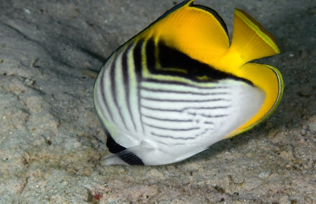 Threadfin butterflyfish  Chaetodon auriga  in the Red Sea, Egypt Stock Photo - 19881556