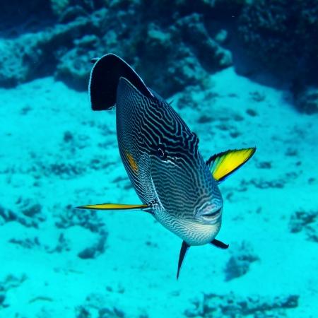 sohal: Sohal surgeonfish  Acanthurus sohal  in the Red Sea, Egypt  Stock Photo
