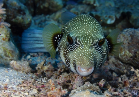 arothron: Whitespotted Puffer  Arothron hispidus  in the Red Sea, Egypt  Stock Photo